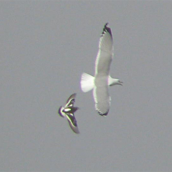 Common (Mew) Gull and Black Turnstone