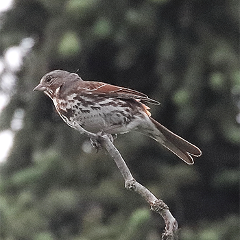 (Red) Fox Sparrow