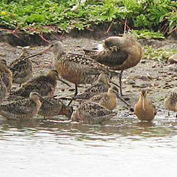 Hudsonian Godwits and Short-billed Dowitchers