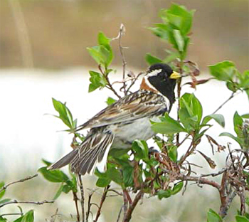 Lapland Longspur (Bunting)