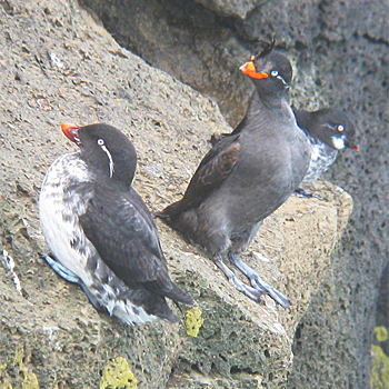 Parakeet, Crested and Least Auklets