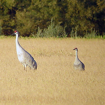 Greater and Lesser Sandhill Crane