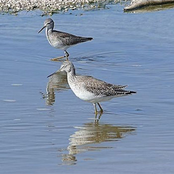 Greater (front) and Lesser Yellowlegs