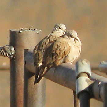 Ruddy Ground-doves