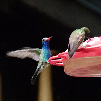 Berylline and Broad-billed Hummingbird