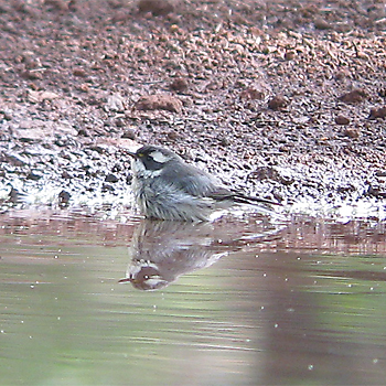 Black-throated Grey Warbler