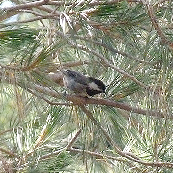 Mexican Chickadee