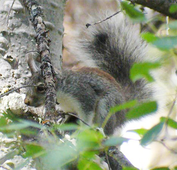Tassle-eared Squirrel