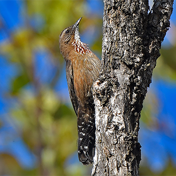 Black-tailed Treecreeper