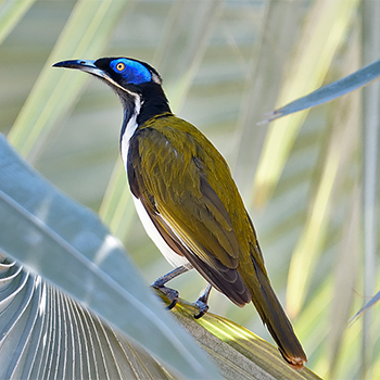 Blue-faced (White-quilled) Honeyeater
