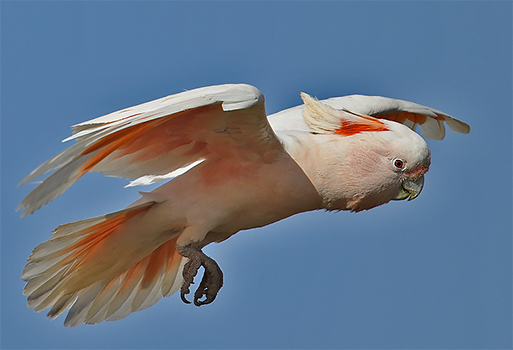 Pink (Major Mitchell's) Cockatoo