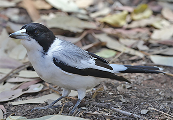 Silver-backed Butcherbird