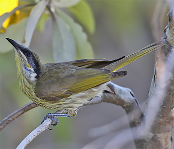 Varied Honeyeater