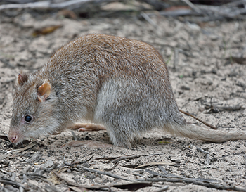 Long-footed Potoroo