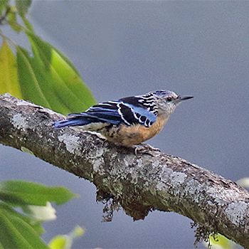 Beautiful Nuthatch