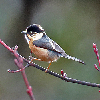 Black-browed Tit