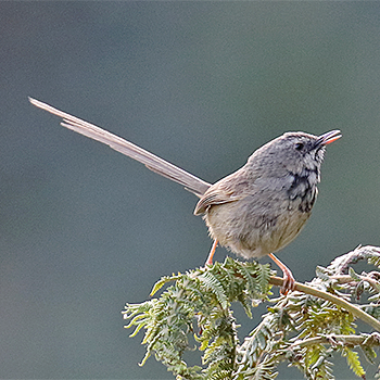 Black-throated Prinia