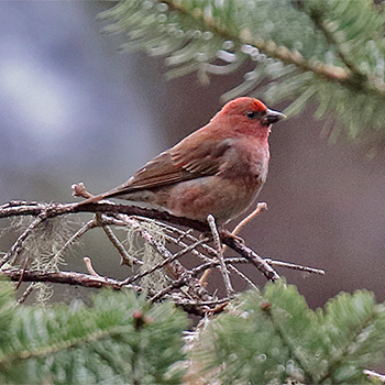 Blandford's Rosefinch