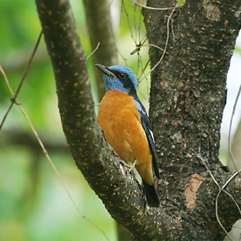 Blue-capped Rock-thrush