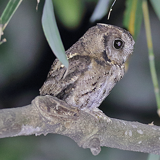 Collared Scops-owl