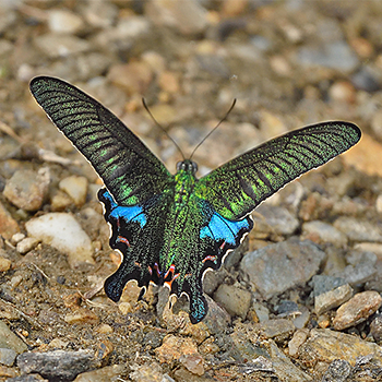 Common Peacock (<em>Papilio polyctor</em>)