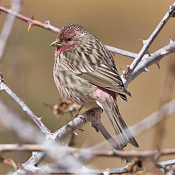 Himalayan Beautiful Rosefinch