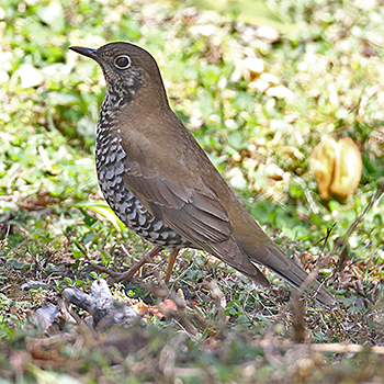 Plain-backed Thrush