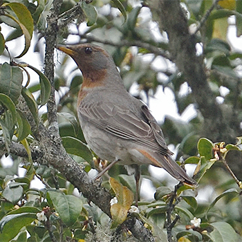Red-throated Thrush