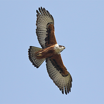 Rufous-bellied Eagle