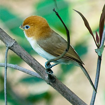 Rufous-headed Parrotbill