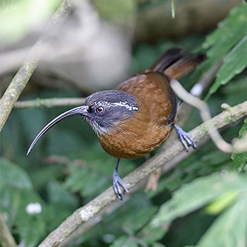 Slender-billed Scimitar-babbler