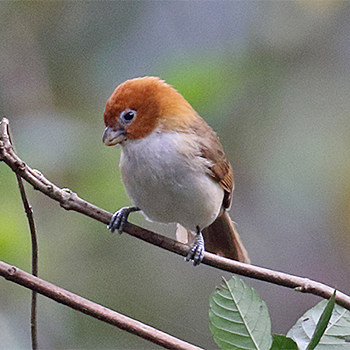 White-breasted Parrotbill