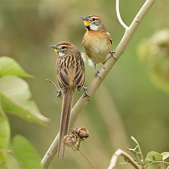 Chotoy Spinetail