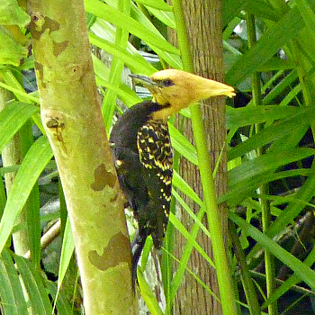 Blond-crested Woodpecker