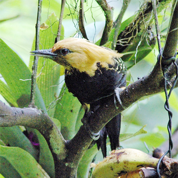 Blonde-crested Woodpecker
