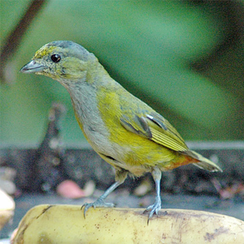 Chestnut-bellied Euphonia (female)