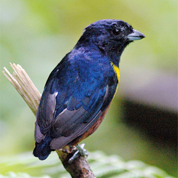 Chestnut-bellied Euphonia (male)