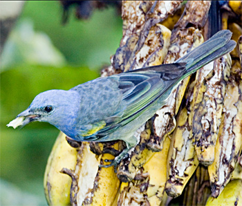 Golden-chevroned Tanager