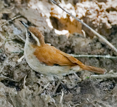 Tail-banded Hornero