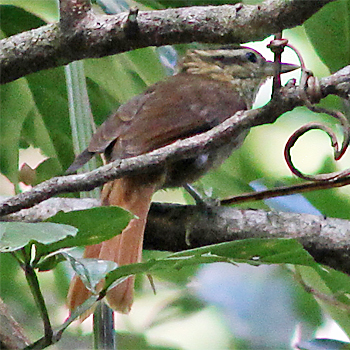 White-browed Foliage-gleaner