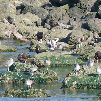 Black Oystercatchers, Willets, Hudsonian Whimbrels