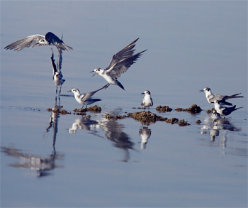 (American) Black Terns