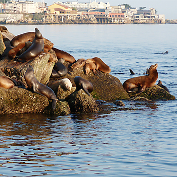 California Sealions