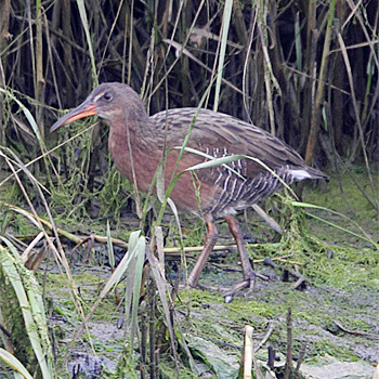 """Light-footed"" Clapper Rail"