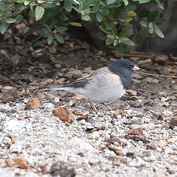 Dark-eyed (Orgeon) Junco