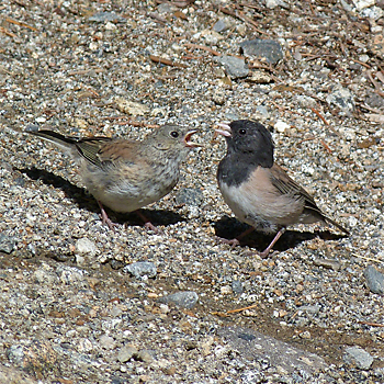 Dark-eyed (Oregon) Juncos