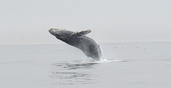 Humpback Whale (courtesy of Helen Stedman)