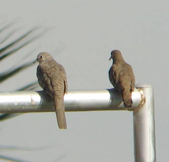 Inca Dove and Ruddy Ground-dove