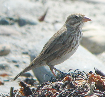 'Large-billed' Savannah Sparrow