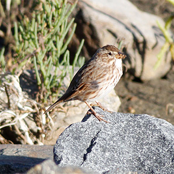 Savannah (Large-billed) Sparrow